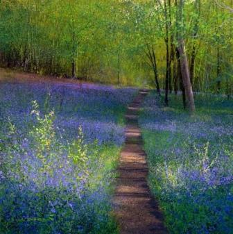 British Artist Paul Evans - Bluebell Path